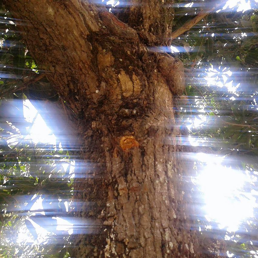 पुलिस की गोली से क्षतिग्रस्त पेड़